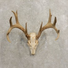 Whitetail Deer Skull European Mount For Sale #20460 @ The Taxidermy Store