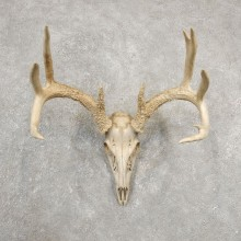 Whitetail Deer Skull European Mount For Sale #20544 @ The Taxidermy Store
