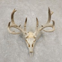 Whitetail Deer Skull European Mount For Sale #20546 @ The Taxidermy Store
