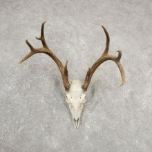 Whitetail Deer Skull European Mount For Sale #20547 @ The Taxidermy Store