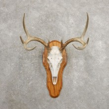 Whitetail Deer Skull European Mount For Sale #20984 @ The Taxidermy Store