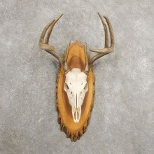 Whitetail Deer Skull European Mount For Sale #20987 @ The Taxidermy Store