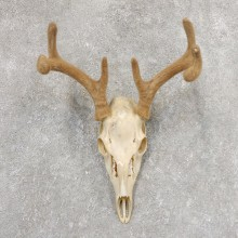 Whitetail Deer Skull European Mount For Sale #21344 @ The Taxidermy Store
