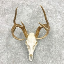 Whitetail Deer Skull European Mount For Sale #22301 @ The Taxidermy Store