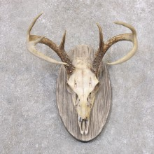 Whitetail Deer Skull European Mount For Sale #22357 @ The Taxidermy Store