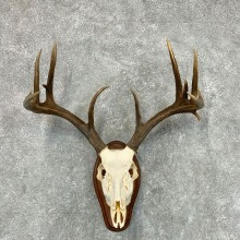 Whitetail Deer Skull European Mount For Sale #22662 @ The Taxidermy Store