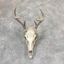 Whitetail Deer Skull European Mount For Sale #23029 @ The Taxidermy Store