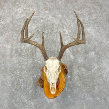 Whitetail Deer Skull European Mount For Sale #24260 @ The Taxidermy Store