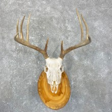 Whitetail Deer Skull European Mount For Sale #24263 @ The Taxidermy Store