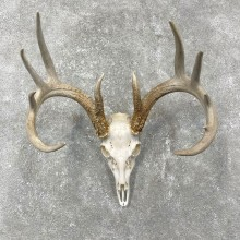 Whitetail Deer Skull European Mount For Sale #24473 @ The Taxidermy Store