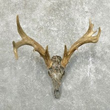 Whitetail Deer Skull European Mount For Sale #24510 @ The Taxidermy Store