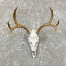 Whitetail Deer Skull European Mount For Sale #24811 @ The Taxidermy Store