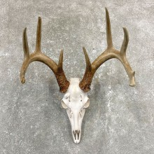 Whitetail Deer Skull European Mount For Sale #24925 @ The Taxidermy Store