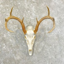 Whitetail Deer Skull European Mount For Sale #25171 @ The Taxidermy Store