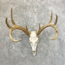 Whitetail Deer Skull European Mount For Sale #25173 @ The Taxidermy Store