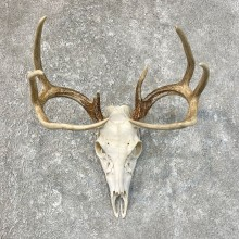 Whitetail Deer Skull European Mount For Sale #25218 @ The Taxidermy Store