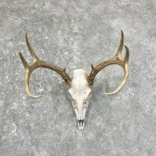 Whitetail Deer Skull European Mount For Sale #25249 @ The Taxidermy Store