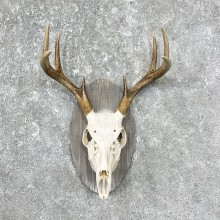 Whitetail Deer Skull European Mount For Sale #25311 @ The Taxidermy Store