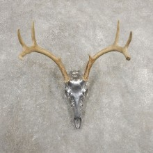 Whitetail Deer Skull Horns European Mount #20994 For Sale @ The Taxidermy Store