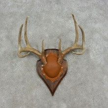 Whitetail Deer Antler Plaque Mount #17080 For Sale @ The Taxidermy Store