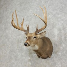 Whitetail Deer Shoulder Mount For Sale #17475 @ The Taxidermy Store