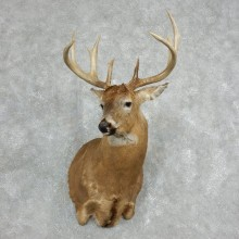 Whitetail Deer Taxidermy Shoulder Mount For Sale #18065 @ The Taxidermy Store