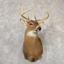 Whitetail Deer Taxidermy Shoulder Mount For Sale #18832 @ The Taxidermy Store