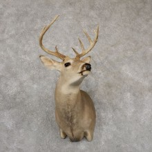 Whitetail Deer Taxidermy Shoulder Mount For Sale