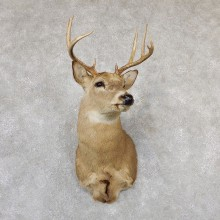 Whitetail Deer Taxidermy Shoulder Mount For Sale #19301 @ The Taxidermy Store