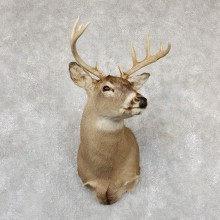 Whitetail Deer Taxidermy Shoulder Mount For Sale #19305 @ The Taxidermy Store