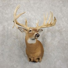 Whitetail Deer Taxidermy Shoulder Mount For Sale #20417 @ The Taxidermy Store