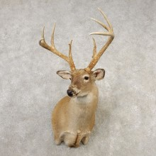 Whitetail Deer Taxidermy Shoulder Mount For Sale #21659 @ The Taxidermy Store