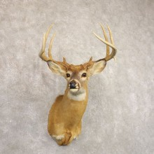 Whitetail Deer Taxidermy Shoulder Mount For Sale #22157 @ The Taxidermy Store