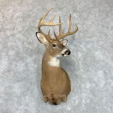 Whitetail Deer Taxidermy Shoulder Mount For Sale #22678 @ The Taxidermy Store