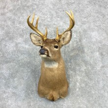 Whitetail Deer Taxidermy Shoulder Mount For Sale #23341 @ The Taxidermy Store