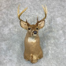Whitetail Deer Taxidermy Shoulder Mount For Sale #23347 @ The Taxidermy Store