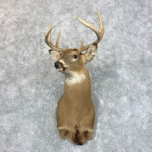 Whitetail Deer Taxidermy Shoulder Mount For Sale #23945 @ The Taxidermy Store