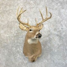 Whitetail Deer Taxidermy Shoulder Mount For Sale #25180 @ The Taxidermy Store