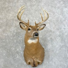 Whitetail Deer Taxidermy Shoulder Mount For Sale #25183 @ The Taxidermy Store