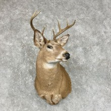 Whitetail Deer Taxidermy Shoulder Mount For Sale #25308 @ The Taxidermy Store