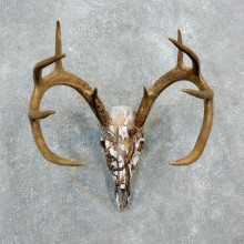 Whitetail Deer Dipped Skull Mount For Sale #18319 @ The Taxidermy Store