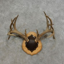 Whitetail Deer Taxidermy European Antler Plaque #17285 For Sale @ The Taxidermy Store