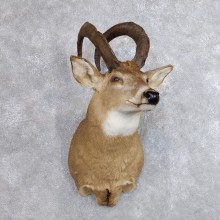 Whitetail Sheep Shoulder Mount #18740 For Sale - The Taxidermy Store