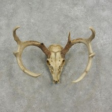 Whitetail Deer Skull European Taxidermy Mount For Sale