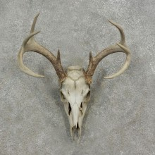 Whitetail Deer Skull European Mount For Sale #17077 @ The Taxidermy Store