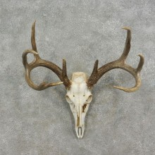 Whitetail Deer Skull European Mount For Sale #17074 @ The Taxidermy Store