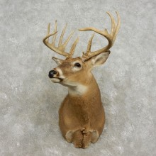 Whitetail Deer Shoulder Mount For Sale #17330 @ The Taxidermy Store