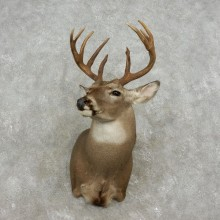 Whitetail Deer Shoulder Mount For Sale #17361 @ The Taxidermy Store