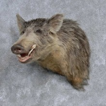 Wild Boar Shoulder Mount For Sale #15667 @ The Taxidermy Store