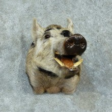 Feral Boar Shoulder Mount For Sale #16178 @ The Taxidermy Store